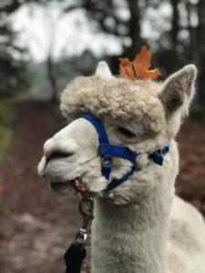 Marco Polo er en' af stjernerne på Alpaca Walk'n'talk ... I dag pyntede ham sig. Han er den skønneste charmetrold.